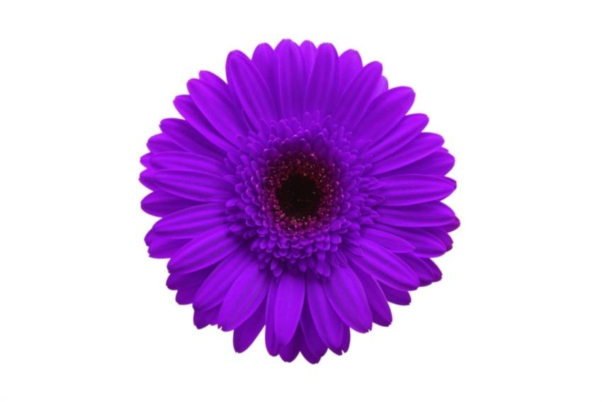 ガーベラ紫