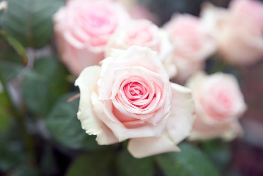 バラの花びらが落ちにくくなる裏ワザ