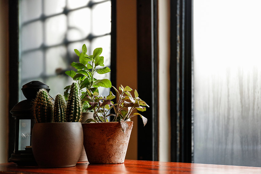 明るい日陰を好む丈夫な観葉植物