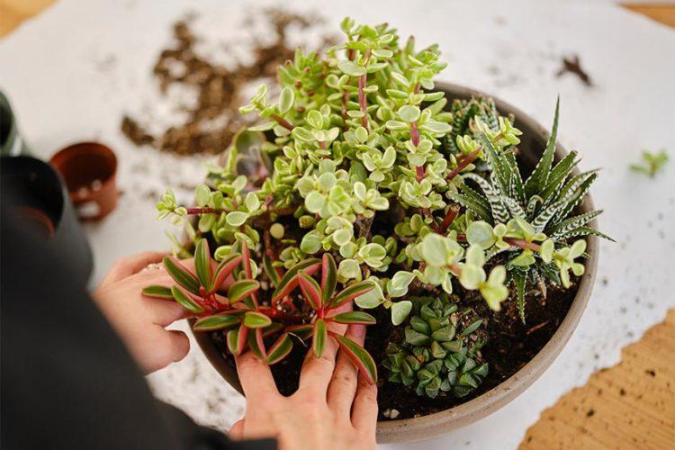 父の日に多肉植物を贈ろう!おすすめの理由と寄せ植えの作り方をご紹介